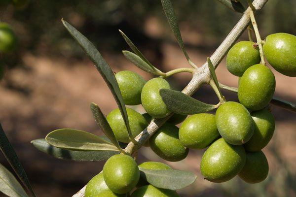 Comprar Planta de olivo Arroniz