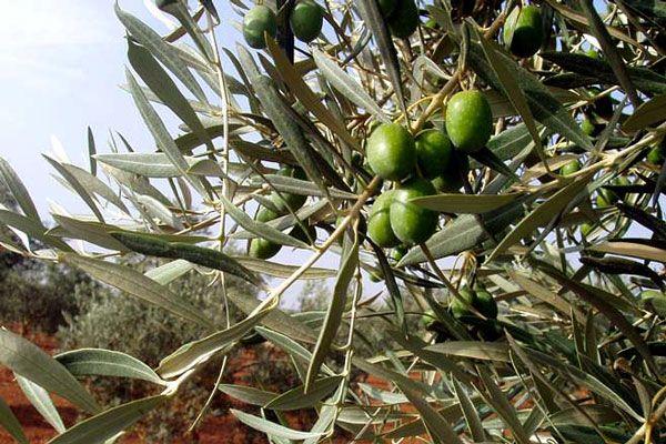 Comprar Planta de olivo hojiblanca