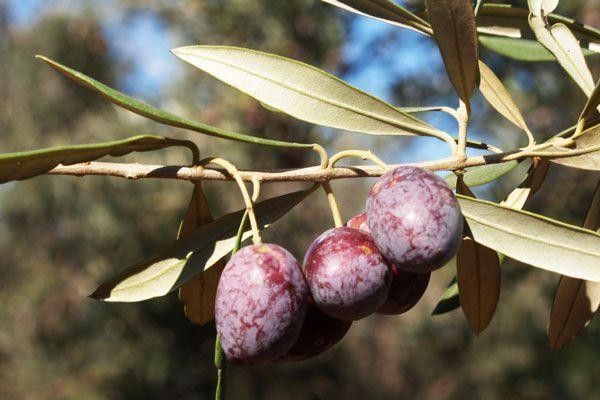 Comprar Planta de olivo Picual