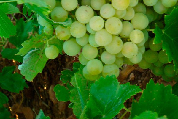 Comprar planta de viña Airén