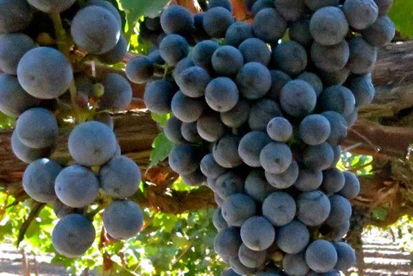 Comprar planta viña Cabernet Sauvignon
