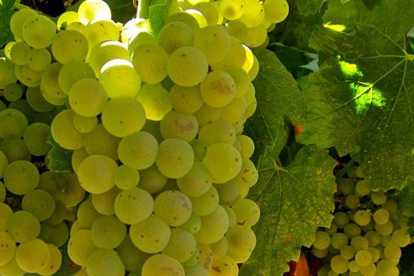 Comprar planta de viña Chardonnay