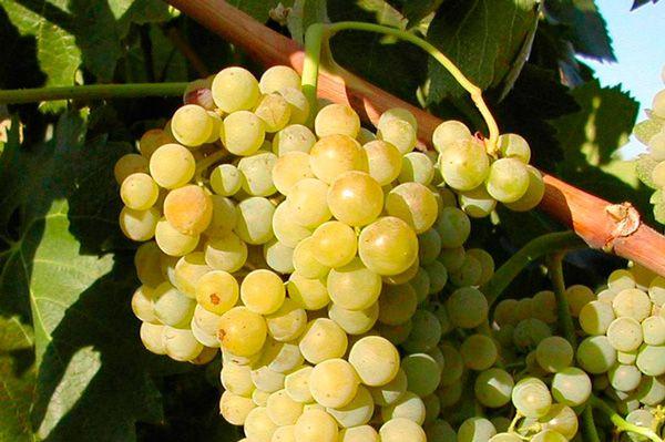 Venta de Planta de viña Macabeo