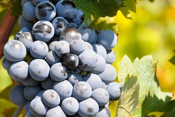 Comprar planta de viña Monastrell