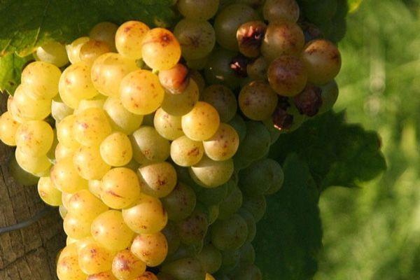 Venta de planta viña moscatel grano menudo