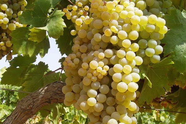 Comprar Planta de viña Pedro Ximenez