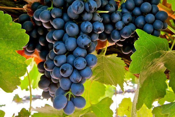 Comprar Planta de viña syrah