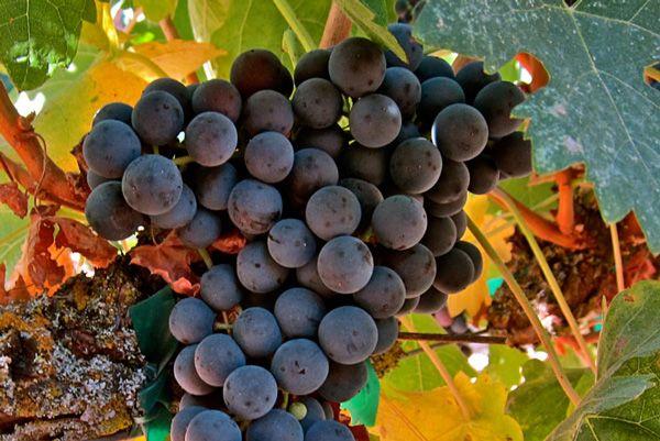 Venta de Planta de viña moscatel grano menudo