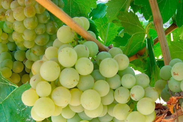 Comprar Planta de viña verdejo