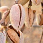 Comprar Planta de Almendro