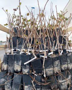 Reserva planta de pistacho 2020